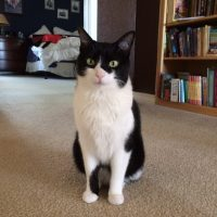 Lost: Black & white cat (no tail)