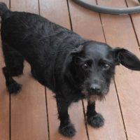 Found small, black, male dog